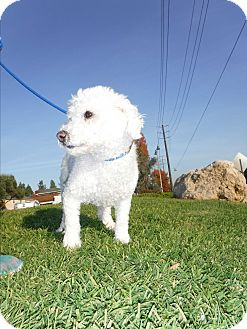 Poodle (Miniature)/Poodle (Miniature) Mix Dog for adoption in Agoura Hills, California - Louie