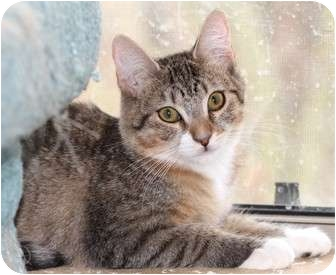 Domestic Shorthair Cat for adoption in Scottsdale, Arizona - Mimi