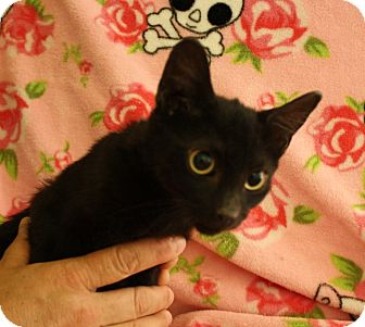 Domestic Shorthair Kitten for adoption in Fountain Hills, Arizona - ESPRESSO