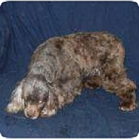 Adopt A Pet :: Cocoa MINIATURE COCKER SPANIEL - Antioch, IL