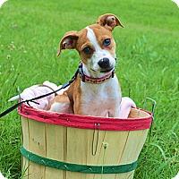 Adopt A Pet :: *Deera - PENDING - Westport, CT