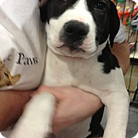 Adopt A Pet :: Oreo - Pittstown, NJ