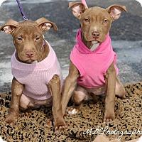 Adopt A Pet :: Waffles - Southampton, PA
