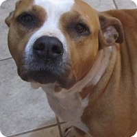 American Staffordshire Terrier/American Bulldog Mix Dog for adoption in Kansas City, Missouri - Gaia