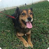 Adopt A Pet :: Kelsey - Redondo Beach, CA