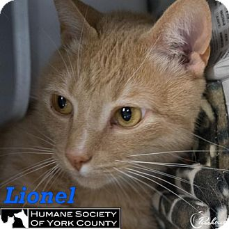 Domestic Mediumhair Cat for adoption in Fort Mill, South Carolina - Lionel