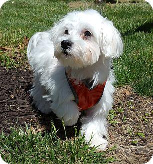 Maltese Puppy for adoption in Bridgeton, Missouri - Clay-Adoption pending