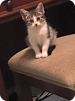 American Shorthair Cat for adoption in Toms River, New Jersey - Sydnee