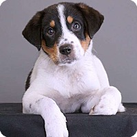Adopt A Pet :: Abby - Sudbury, MA