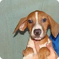 Adopt A Pet :: Tootsie - Oviedo, FL