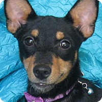 Basenji/Italian Greyhound Mix Dog for adoption in Cuba, New York - Gigi