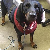 Adopt A Pet :: DIXIE - Cadiz, OH