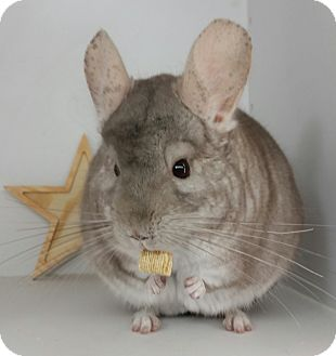 Chinchilla for adoption in AUGUSTA, Maine - Muffin