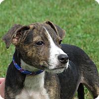 Adopt A Pet :: Cheech - Unionville, PA