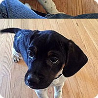 Adopt A Pet :: Sally's Pup Linus - Chantilly, VA