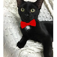 Domestic Shorthair Kitten for adoption in Paducah, Kentucky - Eb