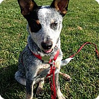 Adopt A Pet :: Marco..I love other dogs! - Redondo Beach, CA