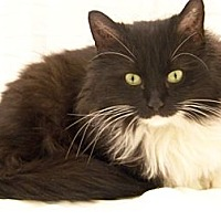 Adopt A Pet :: Emma (loving lapsitter) - Arlington, VA
