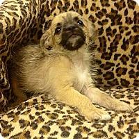 Adopt A Pet :: AJ - Staunton, VA