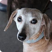 Dachshund Dog for adoption in Weston, Florida - Bonnie