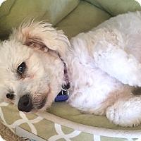 Adopt A Pet :: Lexi - La Quinta, CA