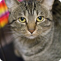 Domestic Shorthair Cat for adoption in Grayslake, Illinois - Floyd
