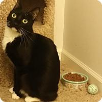 Adopt A Pet :: Brees - Addison, IL