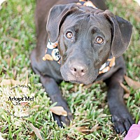 Adopt A Pet :: Lissa - Kingwood, TX
