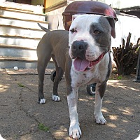 Adopt A Pet :: Chopper, all around pittie :) - Sacramento, CA