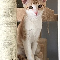 Domestic Shorthair Cat for adoption in Hammond, Louisiana - Prince Tweety