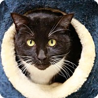Adopt A Pet :: Simon Says - Kettering, OH