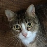 Domestic Shorthair Cat for adoption in Mobile, Alabama - Sheba
