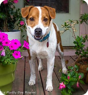 Hound (Unknown Type)/Jack Russell Terrier Mix Dog for adoption in Enfield, Connecticut - Whitley