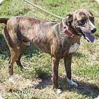 Plott Hound Mix Dog for adoption in Bedford, Indiana - Gus
