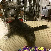 Adopt A Pet :: Scruffy - Phoenix, AZ