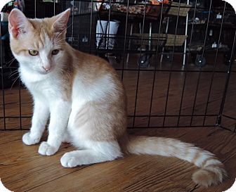 Domestic Shorthair Kitten for adoption in Garland, Texas - Rhett
