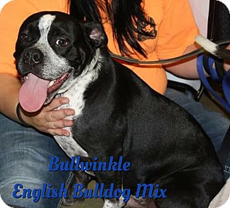 English Bulldog Mix Dog for adoption in Cheney, Kansas - Bullwinkle