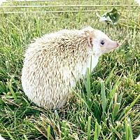 Adopt A Pet :: Olive - Pasco, WA
