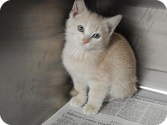 Domestic Shorthair Kitten for adoption in Pikeville, Kentucky - Dolly