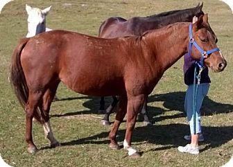 Quarterhorse for adoption in Waynesboro, Pennsylvania - Paisley