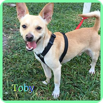 Chihuahua/Terrier (Unknown Type, Small) Mix Dog for adoption in Hollywood, Florida - Toby