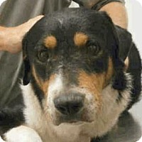 Greater Swiss Mountain Dog Mix Dog for adoption in Austin, Texas - Jeffree