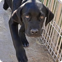 Great Dane/Labrador Retriever Mix Puppy for adoption in Glendale, Arizona - Greg