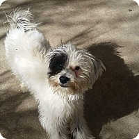 Adopt A Pet :: Pookie - Fountain Valley, CA