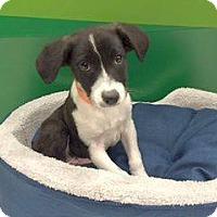 Adopt A Pet :: KIRK - 3 MONTH LAB MIX MALE.jp - Mesa, AZ