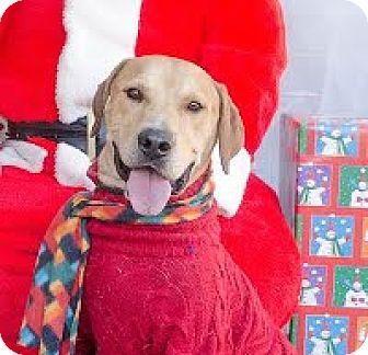 Labrador Retriever Mix Dog for adoption in Darlington, South Carolina - Buster
