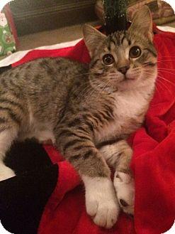 Domestic Shorthair Kitten for adoption in Des Moines, Iowa - Kutlu