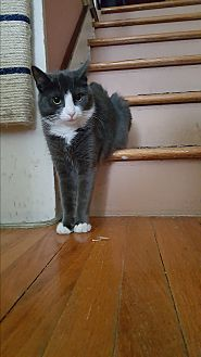 Domestic Shorthair Cat for adoption in Pottstown, Pennsylvania - Skadi