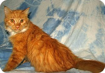 Maine Coon Cat for adoption in Oxford, New York - Sylvia