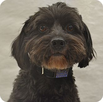 Poodle (Miniature)/Schnauzer (Miniature) Mix Dog for adoption in Bridgeton, Missouri - Max